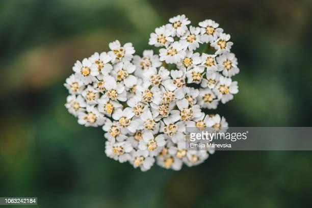 Yarrow Flowers Blooming