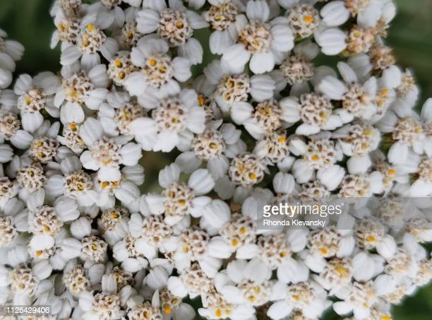 yarrow flowers, nature's patterns - rhonda klevansky ストックフォトと画像
