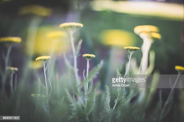 yarrow growing in a garden - yarrow stock pictures, royalty-free photos & images