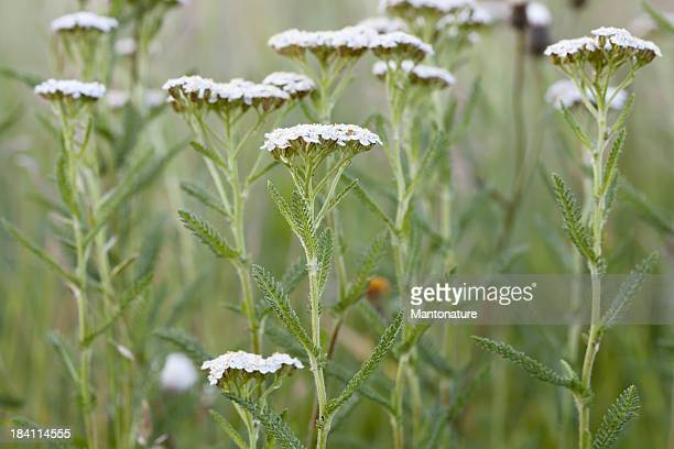 Yarrow, Milfoil (Achillea millefolium)