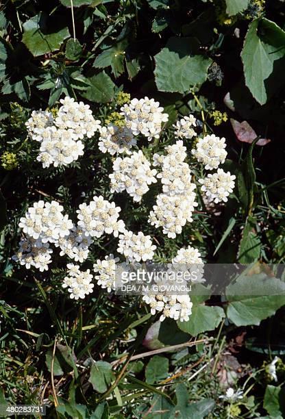 Yarrow or Common yarrow Asteraceae