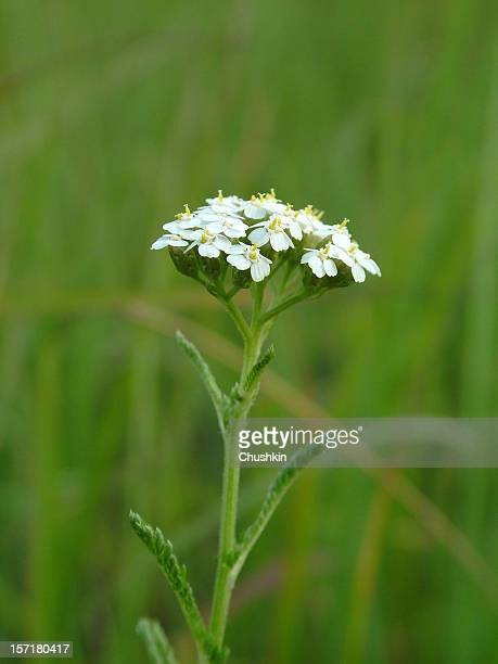 yarrow - yarrow stock pictures, royalty-free photos & images