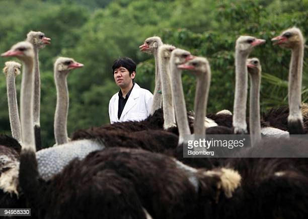 Yasuhiro Tsukamoto professor at Kyoto Prefectural University stands behind ostriches at a breeding farm in Kobe City Hyogo Prefecture Japan on...