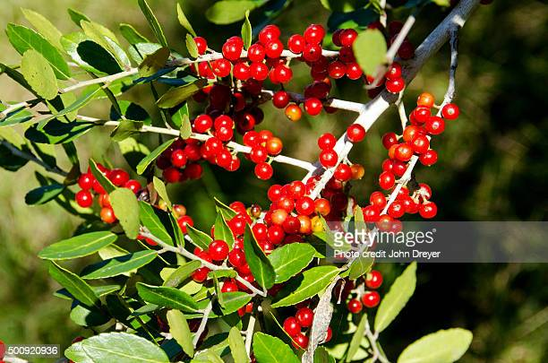 yaupon evergreen holly berries - carolina cherry photos et images de collection