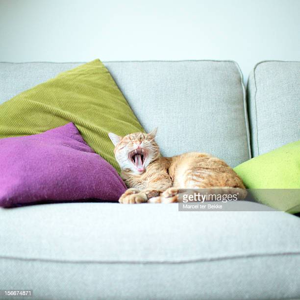 Yawning cat on couch