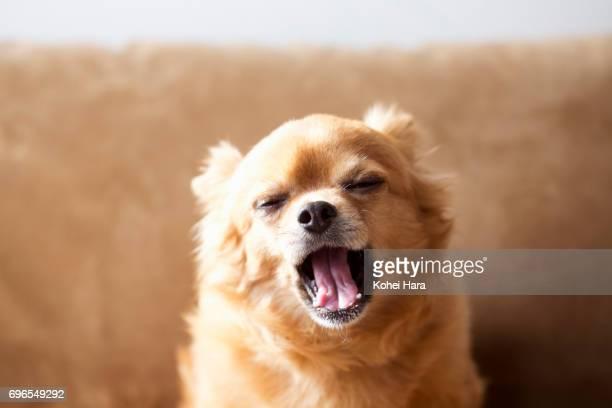 A yawning chihuahua
