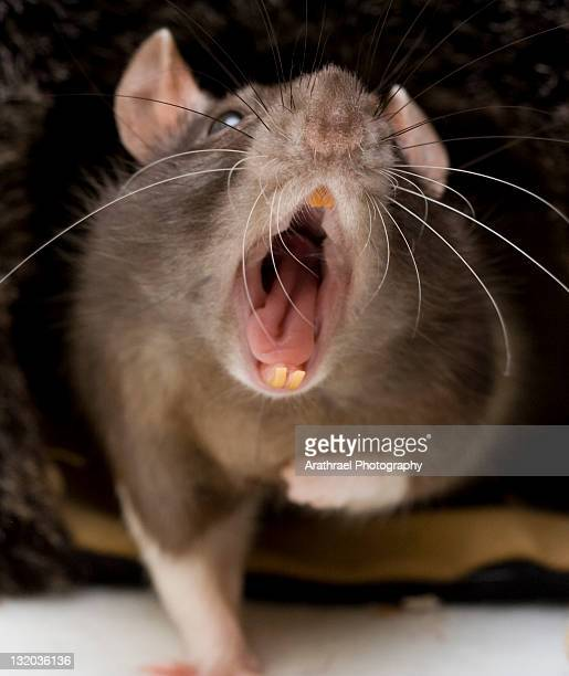 yawning fancy rat - rat stock pictures, royalty-free photos & images