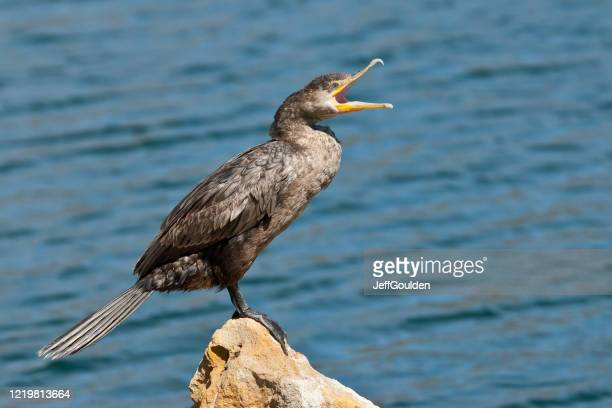 yawning female neotropic cormorant - jeff goulden stock pictures, royalty-free photos & images