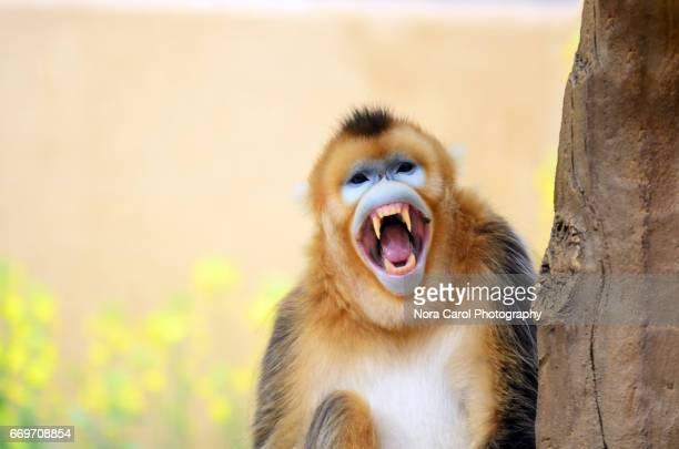 Yawning Golden Snub-nosed monkey