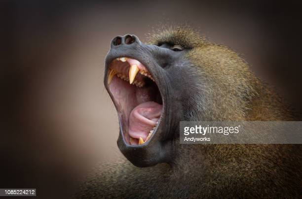 yawning hamadryas baboon - baboon stock pictures, royalty-free photos & images