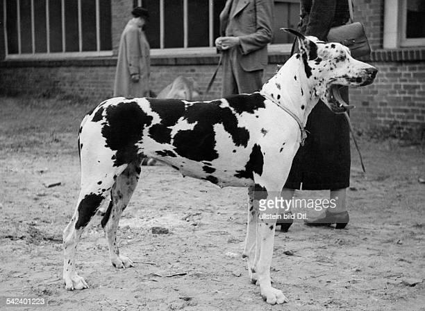 A yawning Harlequin Great Dane fifties Photographer Friedrich Seidenstuecker Vintage property of ullstein bild