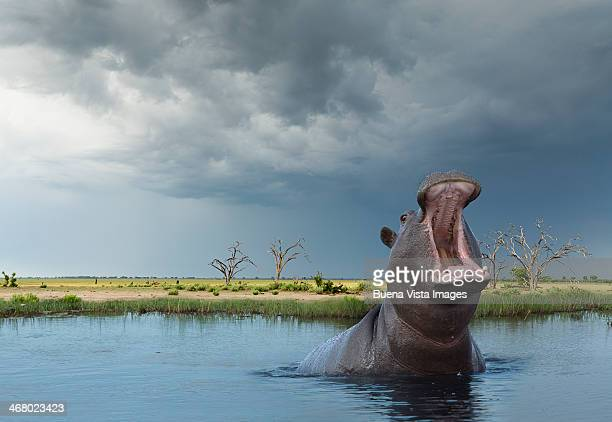yawning hippo (hippoptamus amphibius) - animals in the wild stock pictures, royalty-free photos & images