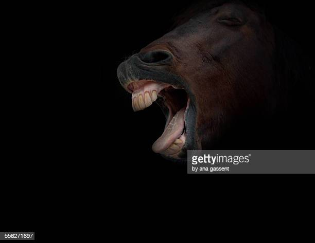yawning horse - horse teeth stock photos and pictures