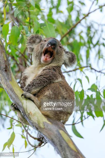 yawning koala looking at camera, sitting in a eucalyptus tree on a rainy day - lianne loach stock pictures, royalty-free photos & images