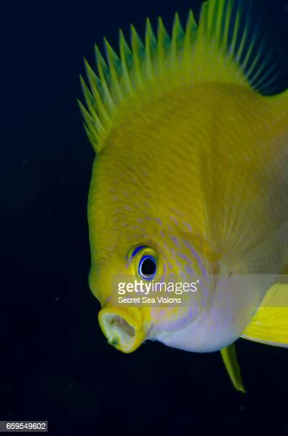 """yawning"" lemon damselfish - damselfish stock photos and pictures"
