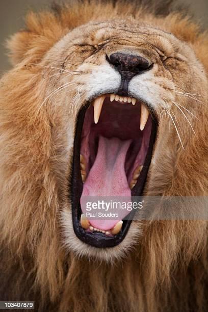 Yawning Lion, Mara Game Reserve, Kenya