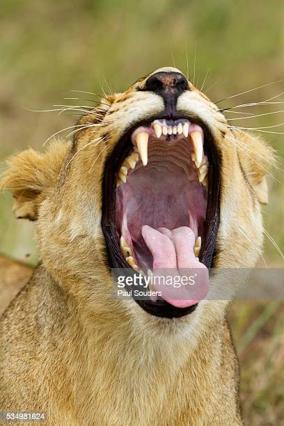 Yawning Lion, Sabi Sabi Reserve, South Africa