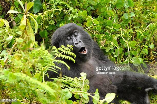 Yawning Mountain Gorilla