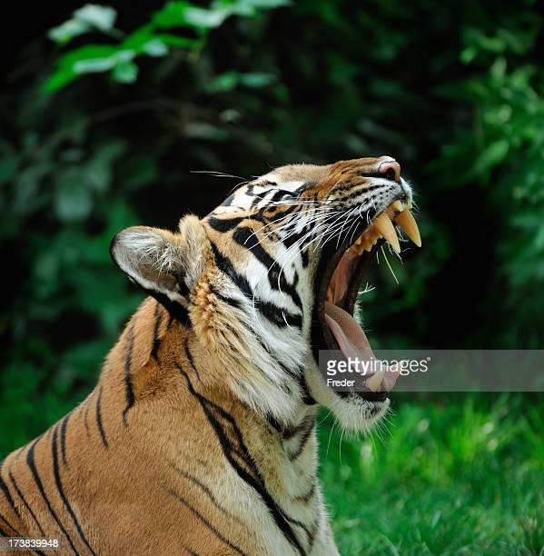 あくびをするタイガー