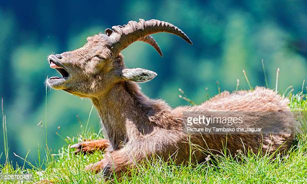 yawning young ibex - ibex stock photos and pictures