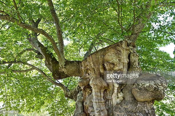 200 year old elm, model for the lemonade tree of Pippi Longstocking, Information and Cultural centre Astrid Lindgrens Nas, Vimmerby, Smaland, Sweden