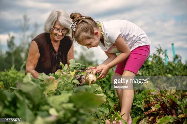 6 year old girl harvesting - turnip stock pictures, royalty-free photos & images