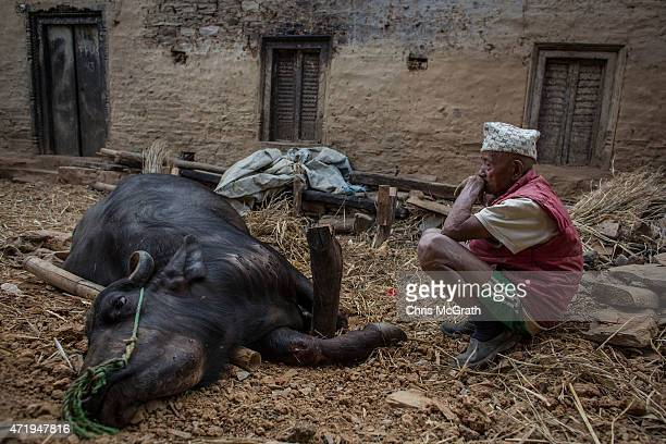 89 year old Hira Singh Moktan watches over his injured pregnant buffalo amongst the rubble of his home in the remote village of Phalame on May 2 2015...