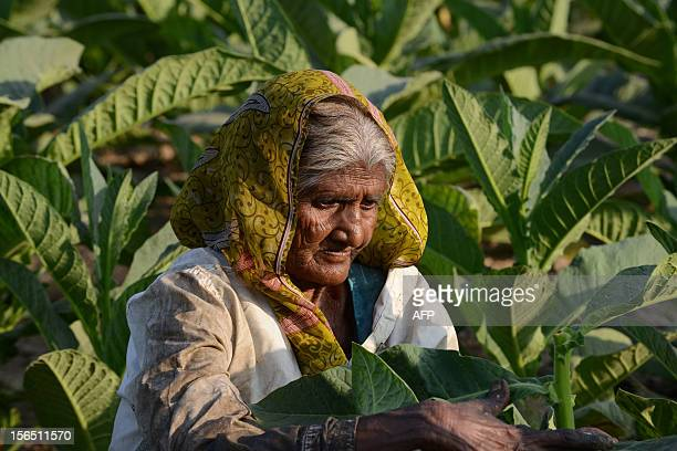 70 year old Indian farmer Maniben Kanjibhai Solanki works in her field of tobacco at the village of Nidrad some 30kms from Ahmedabad on November 16...