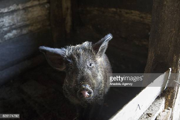 81 year old Ivan Ivanic keeps pig at his garden is as he moved back to his village with his wife Maria 1 year later an accident at Paryshiv village...