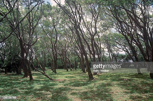 200 year old mahogany woods, sunbury plantation house, barbados - west indies stock pictures, royalty-free photos & images