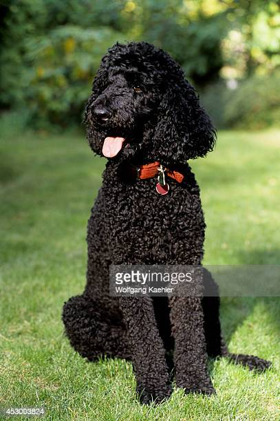 standard poodle stock photos and pictures getty images
