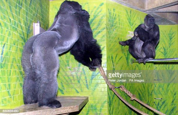 29 year old Minouche flirts with Jock18yrs London Zoo's new male gorilla who arrived from a French Zoo on Valentine's day He has joined four females...