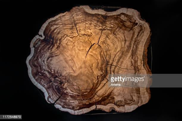 375 year old Montezuma bald cypress / Montezuma cypress crosscut / cross section showing annual growth rings / tree rings