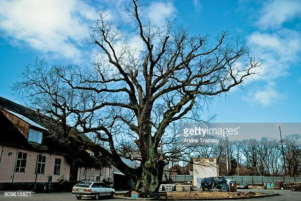 700 year old oak in Ladushkin Kaliningrad oblast According the legend Napoléon Bonaparte had sat under this tree