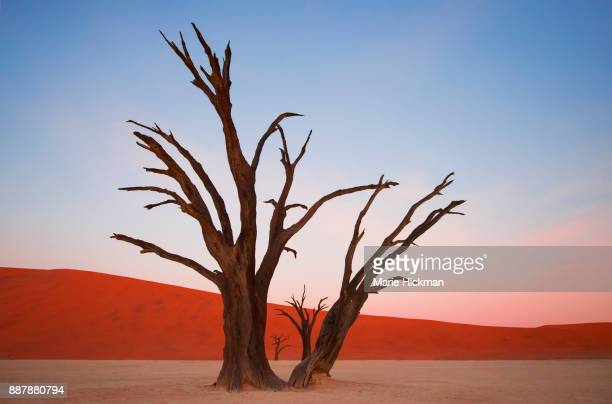 400 year old petrified trees in deadvlei, namibia - images stock photos and pictures