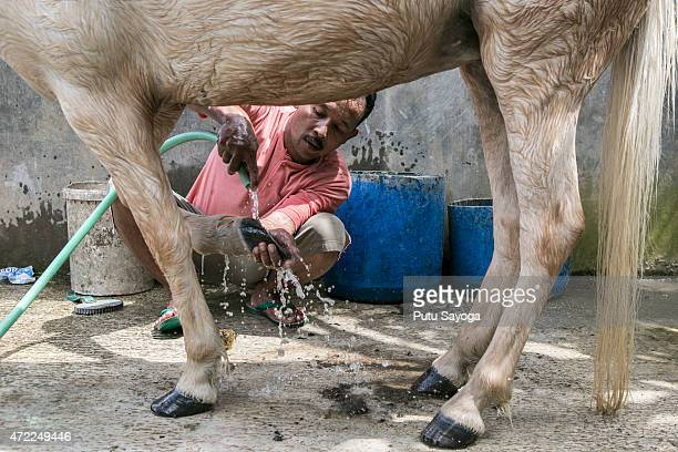 42 year old Ridwan Sururi bathes Luna a horse used as a mobile library on May 5 2015 in Serang Village Purbalingga Central Java Indonesia Ridwan a...