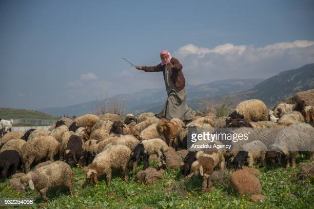 57 year old stockbreeder Saleh Hammud herds sheeps during an exclusive interview after his village cleared from PYD/PKKDaesh terrorists by the...