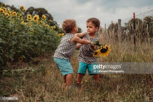 3 year old toddler fraternal twins stands in a sunflower field and are fighting / tantrumming - streiten stock-fotos und bilder