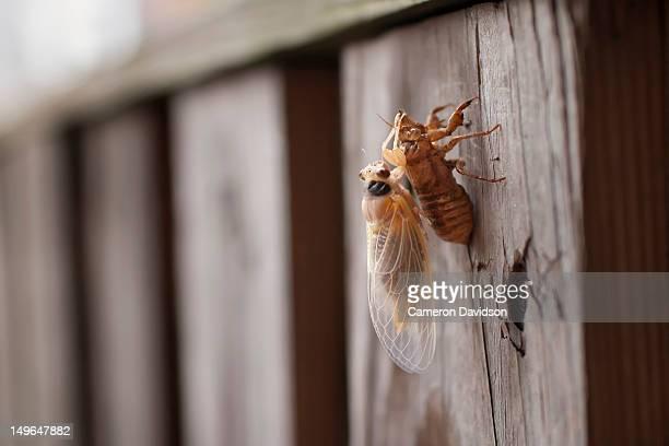a 17 year periodical cicada (magicicada) - cicada stock pictures, royalty-free photos & images