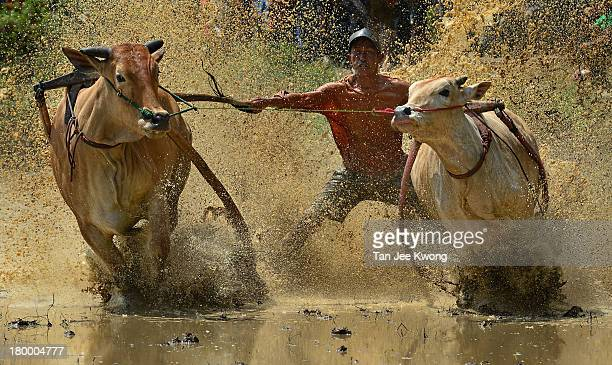 Year tradition in Indonesia where jockeys race their pair of bulls after the completion of rice harvesting.