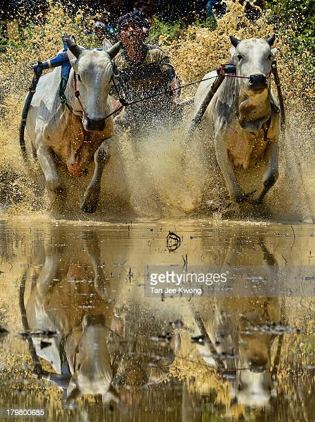 Year tradition where jockeys race with a pair of bulls to celebrate the completion of rice harvesting.