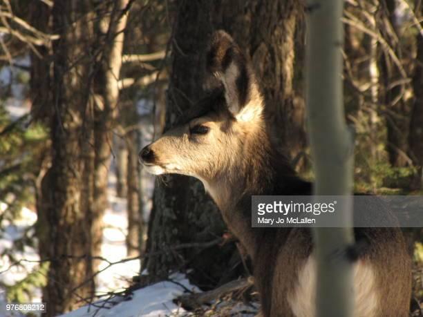yearling deer - jo wilder stock-fotos und bilder