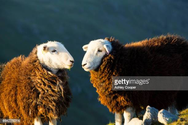 Yearling Herdwick sheep grazing on the summit of Great Carrs at sunset in the Lake District, UK.