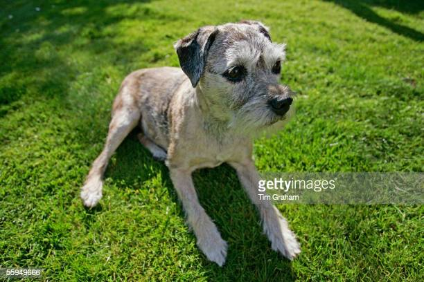 Year-old Border Terrier dog, Jess, enjoys the sunshine in a country garden, England.