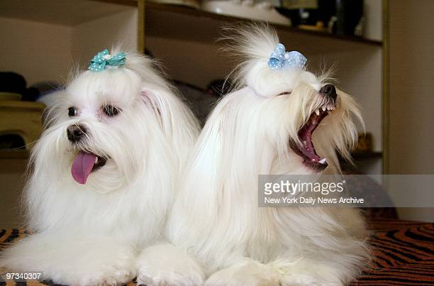 Yearold Maltese pups Shani and Toti wear ribbons in their hair after a grooming at Le Chien on Third Ave