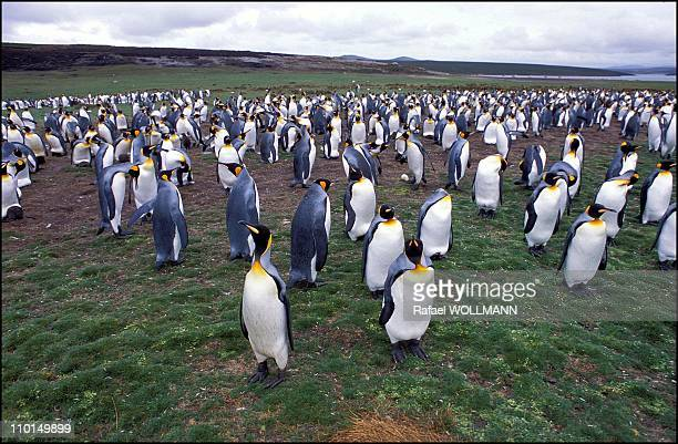 20 years after the war in Falkland Islands in 2002 In photo King penguins at volunteer point