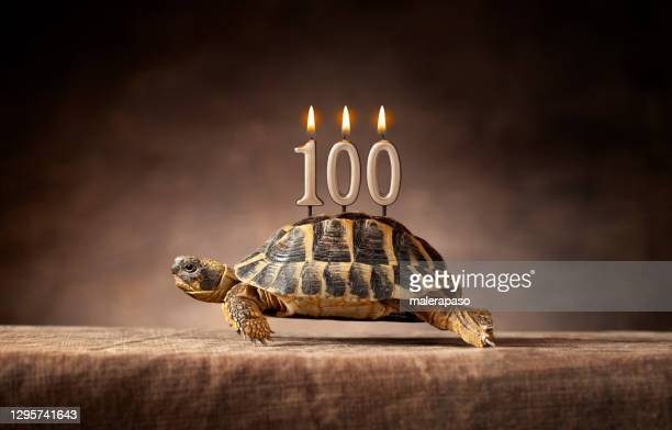 100 years. happy birthday. old turtle. - 100th anniversary stock pictures, royalty-free photos & images