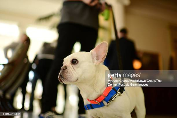 4 years old French Bulldog Hemi from Denver Animal Shelter is in Governor's Mansion in Denver on Saturday March 9 2019 First Gentleman Marlon Reis...