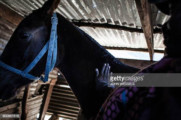 45 years old horse owner Mohale Mpapa calms his horse down in his pen on July 15 2016 in Semonkong Horseracing in the mountain kingdom of Lesotho is...