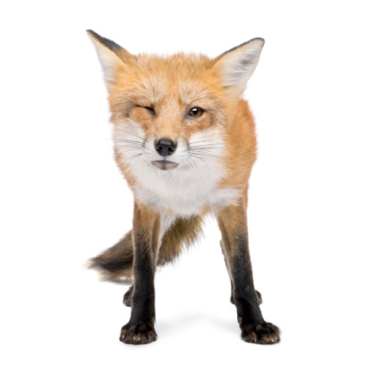 4 years old red fox in white background 93217189